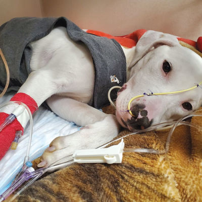 A rescued dog being treated for injuries