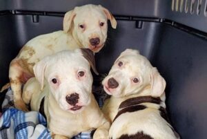 Three white and brown spotted pitbulls.
