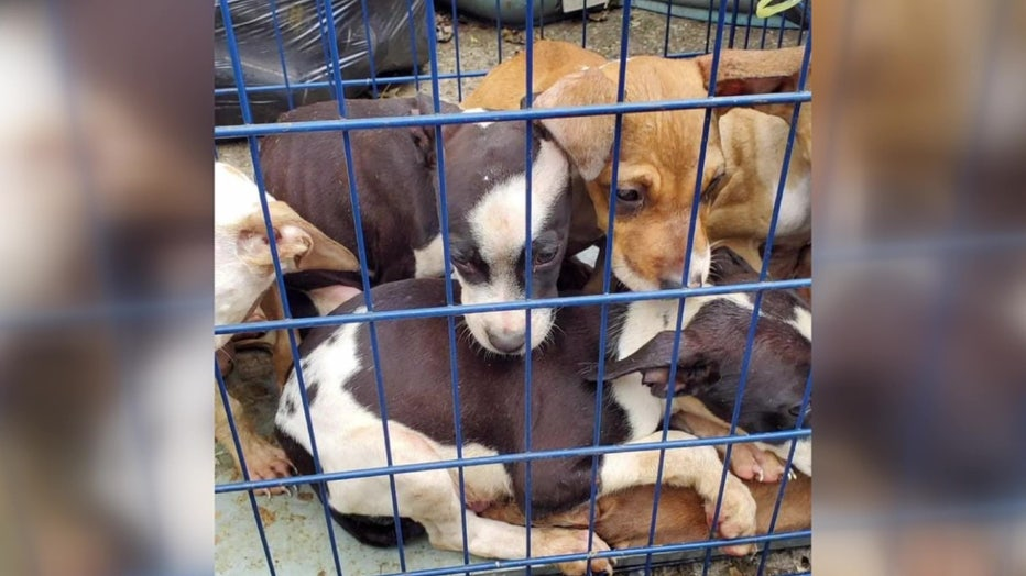 8 week old puppies dumped into a Detroit Field