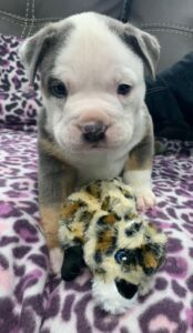 A newborn pit bull and his/hers favorite stuffed animal