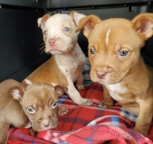 Three pitbull puppies rescued by Detroit Pit Crew Dog Rescue